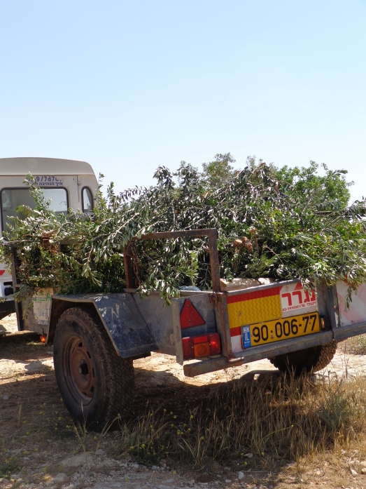 Trailer load of destroyed olive trees leaving grove.